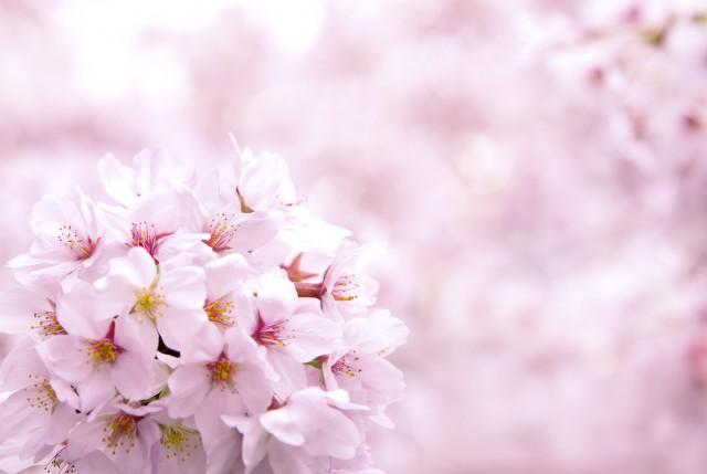 cherry-blossom_00037